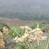 pesona-edelweiss-jawa-si-bunga-abadi-yang-tumbuh-di-puncak-kelud