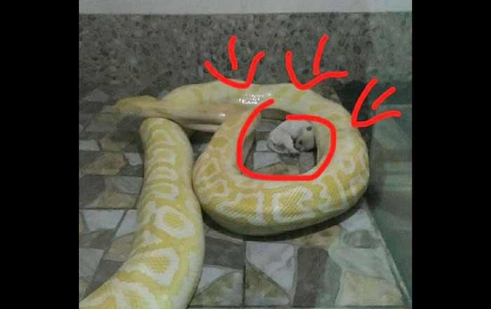 Alamak Pythons Ini Diberi Makan Anak Anjing Bangsa Online