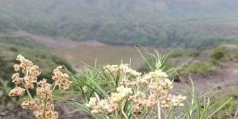 Pesona Edelweiss Jawa, si Bunga Abadi yang Tumbuh di Puncak Kelud