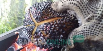 Sensasi Unik Durian Bakar Wonosalam