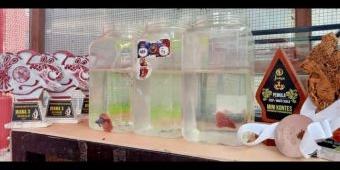 Berhasil Sabet Juara, Lapas Narkotika Pamekasan Galakkan Budi Daya Ikan Cupang