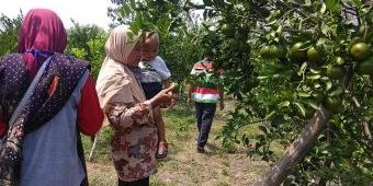 Menikmati Wisata Petik Jeruk Desa Candisari Sambeng: Tiket Rp 10 Ribu, Bisa Makan Buah Sepuasnya