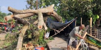 Hujan dan Angin Landa Kediri, Pohon Trembesi Besar Tumbang Timpa Tiga Warung