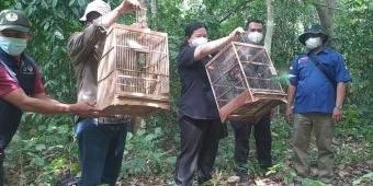 BKSDA Banyuwangi Lepas Liarkan 30 Burung Cucak Hijau Hasil Penindakan Penjual Burung Dilindungi