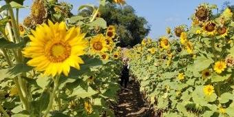 Sulap Lahan Kosong Jadi Kebun Bunga Matahari, Kota Kediri Miliki Spot Swafoto Baru
