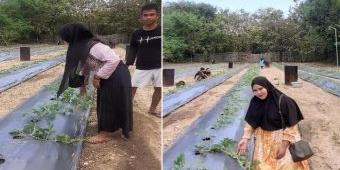 Mahasiswa KKN UTM Bangkalan Berhasil Budi Dayakan Semangka di Desa Kebun